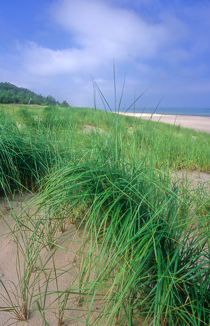 Marram grass covers the foredunes in summer on the Lake Michigan shore at Indiana Dunes National Lakeshore in Porter County, Indiana