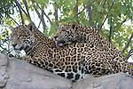 Jaguars grooming at the Living Desert