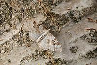 Schwarzbraunbinden-Blattspanner, Primelspanner, Xanthorhoe montanata, Cidaria montanata, Silver-ground Carpet, La Mélanthie montagnarde, Spanner, Geometridae, looper, loopers, geometer moths, geometer moth