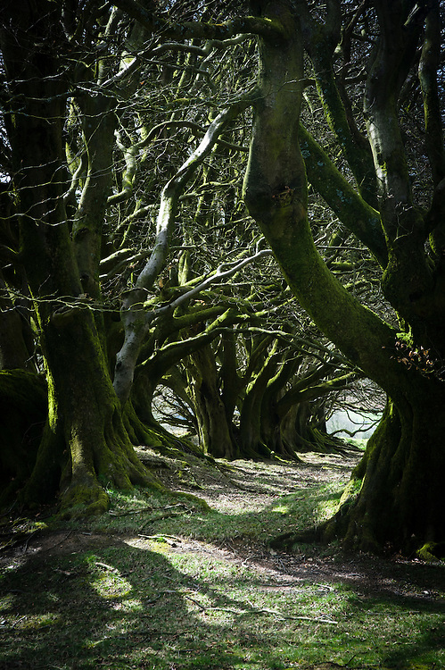 Ancient coppiced beech hedge, Lydeard Hill, Quantocks, Somerset.