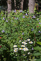 Clematis Betty Corning perennial climbing flowering vine in bloom, blue lavender bell like flowers 'Betty Corning' C. crispa x C. viticella with Leucanthemum, and black raspberries Rubus