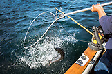 ALASKA, Ketchikan, netting a fish while fishing the Behm Canal near Clarence Straight, Knudsen Cove along the Tongass Narrows