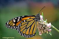 MO01-042b   Monarch Butterfly - adult on milkweed - Danaus plexippus
