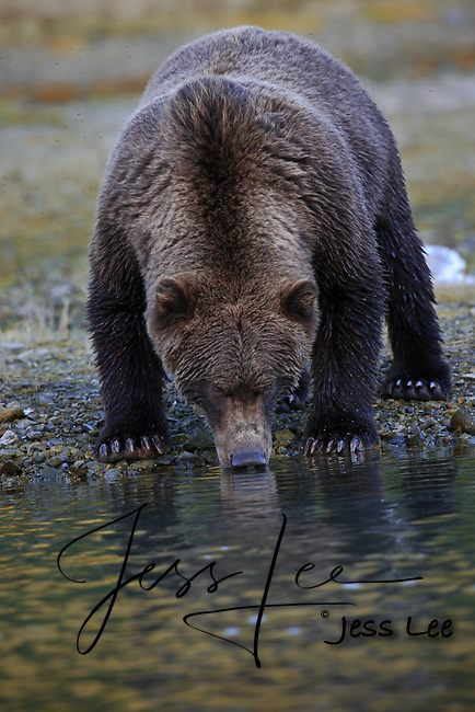 A photo of a boar grizzly drinking from a river in Katmai National Park. Grizzly Bear or brown bear alaska Alaska Brown bears also known as Costal Grizzlies or grizzly bears