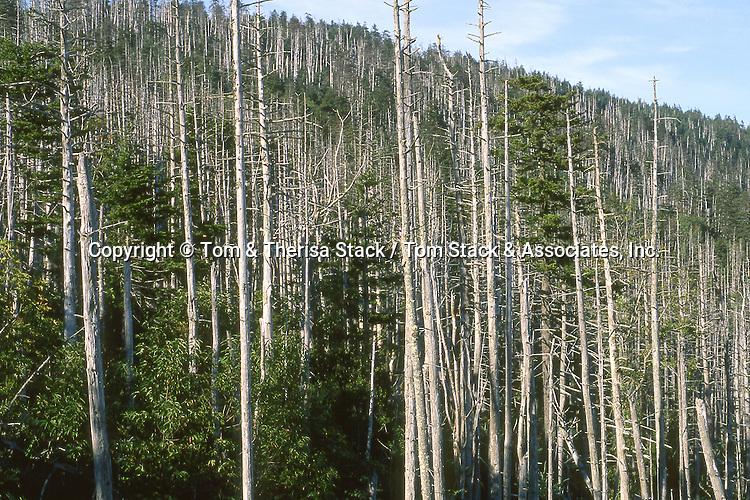 Fraser Fir die off, due to Acid Rain..Appalachian Mts. , North Carolina