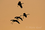 Greater Sandhill Cranes (Grus canadensis) four coming in to land, silhouetted at sunset, Bosque Del Apache National Wildlife Refuge, New Mexico, USA