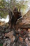 Samaria, roots of a Terebinth tree (Pistacia Palaestina) in Yanun