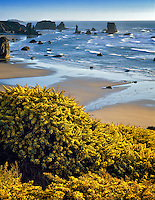 Flowering gorse and Bandon Beach, Oregon