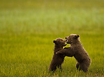 Brown Bear cubs play, Lake Clark NP, Alaska