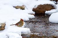 01530-21108 Northern Cardinal (Cardinalis cardinalis) female drinking in winter, Marion Co., IL