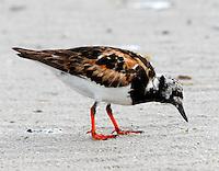 Adult ruddy turnstone in breeding plumage