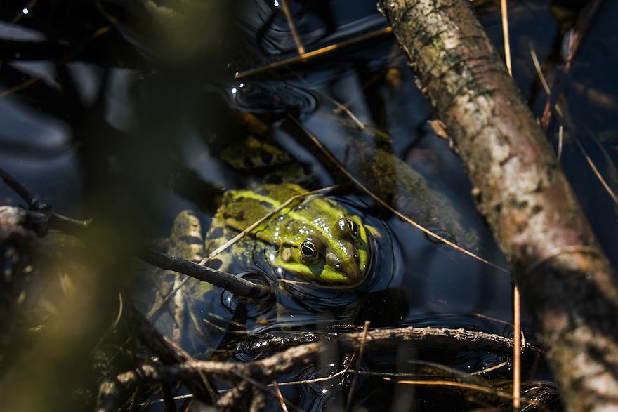 Nederland, Oss, 19 april 2015<br /> Groene kikker in een bosven.<br /> <br />  Foto: Michiel Wijnbergh