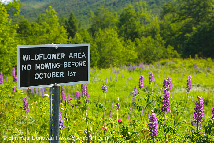 Lupine in Crawford Notch State Park during the spring months in the White Mountains, New Hampshire USA