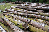 Pine logs awaiting transport on forested land in the Snowdonia National Park
