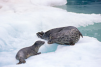 Harbor seal mother with pup (Phoca vitulina), Alaska.