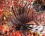 "The lionfish is a scourge that does not belong in the Caribbean Sea.  It is not indigenous to these waters, has no natural predators here, and represents a very real danger to the reefs and natural ecology of the Caribbean reef ecosystem.  Scientists speculate the fish may have been accidentally introduced into the Caribbean in a ships' bilge or ballast water.  ""The Flames"" dive site, Costa Maya, Mexico."