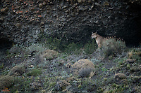 """According to local guides, she's pushing 9 years old and seems to be getting tired of humans. She's been filmed, photographed and observed since she was a cub.  Hermanita (""""little sister"""") only gave us one opportunity this year.  She was holed up in a cave, about 40 feet in the air, and only came to the mouth of the cave when a small herd of Guanaco passed in the meadow below.  From her full belly, it looked like she had recently fed, and she didn't pursue the Guanaco.  However, she gave them her famous icy stare."""