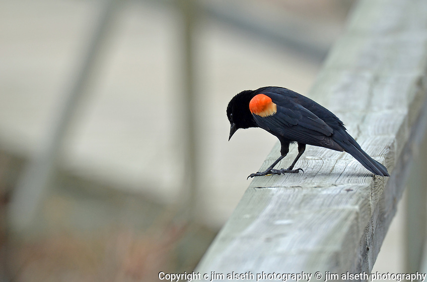 This Red-winged Blackbird thinks he's got a superior vantage point...