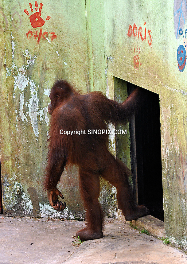 Doris, 8,  part of Sarawaks's Orangutang Rehabilitation Programme in her pen at Matang. Doris is being trained to climb trees and will be released into the junglein the coming years.  The Matang center is coordinated by British man Leo Biddle<br /> <br /> Photo by Richard Jones / Sinopix