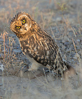 A juvenile Short-eared Owl tilts its head as it watches a vole moving through the grass.