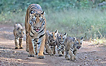 Tigress goes for a stroll with cute cubs