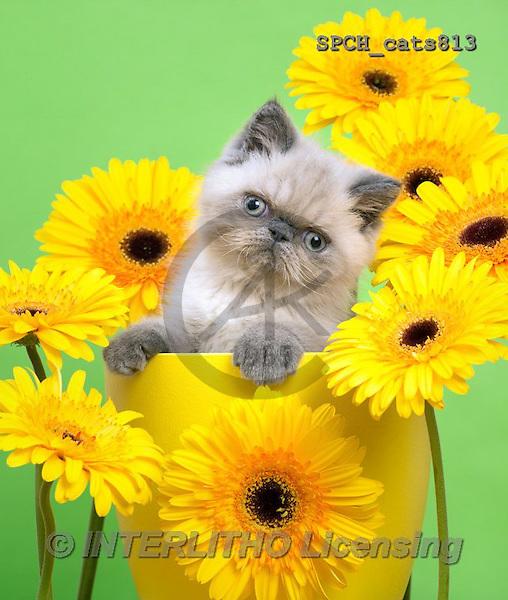 Xavier, ANIMALS, REALISTISCHE TIERE, ANIMALES REALISTICOS, cats, photos+++++,SPCHCATS813,#A#