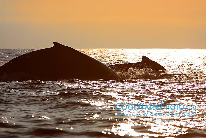 Humpback Whales surfacing at sunset, Megaptera novaeangliae, Hawaii, Pacific Ocean.