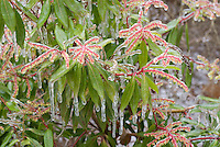Pieris japonica shrub with winter ice