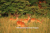 01982-031.18  White-tailed Deer (Odocoileus virginanus) bucks in velvet, TN