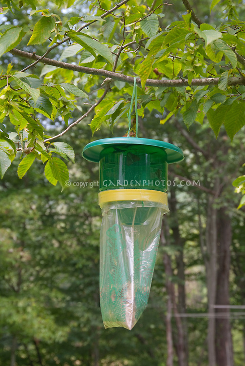 Commercial gypsy moth pest trap hanging in backyard tree to attract insect pests in summer for trapping