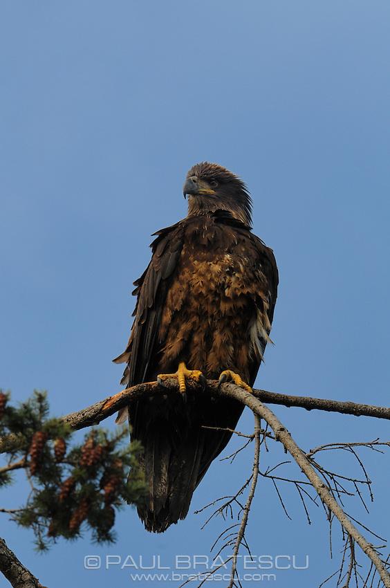 Young Bald Eagle (Haliaeetus leucocephalus) North America Washington state Fir Island
