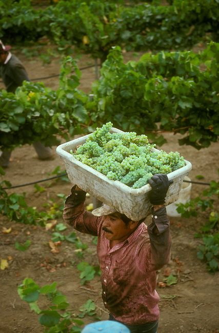 Workers carries chardonnay grapes during harvest in Napa Valley
