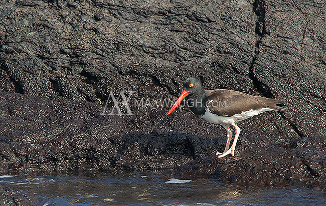 The American oystercatcher is one of many shorebirds found in the Galapagos.