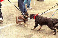 Cowboy canines age 4 conversing at Cinco de Mayo festival.  St Paul Minnesota USA