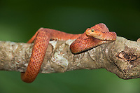 489000002 a captive reddish coloration variable bush viper atheris squamigera sits coilded on a limb species is native to the democratic republic of the congo