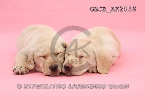Kim, ANIMALS, fondless, photos(GBJBAK2039,#A#) Hunde, perros