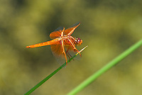 389310020 a wild male flame skimmer libellula saturata perches on a grass stem along the owens river near chalk bluff road north of bishop inyo county california united states