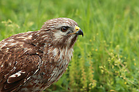 """The Red-tailed Hawk is characterized by variability and versatility.  Across its widespread range, this species exhibits remarkable diversity in plumage, habitat use, and hunting ecology, so much that the red-tail is often described as a """"jack-of-all-trades."""""""