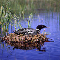 Common Loon (Gavia immer) sitting on a Nest on a Lake, BC, British Columbia, Canada - North American Birds