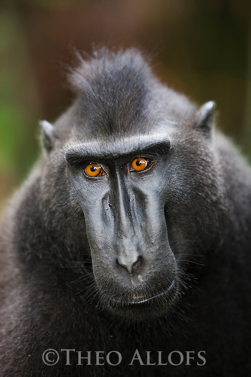 Male crested black macaque (Macaca nigra), Indonesia, Sulawesi; Endangered species, threatened through loss of habitat and bush meat trade; Species only occurs on Sulawesi