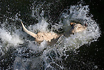 A yellow Labrador retriever hits the water.