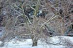 Snowy magnolia tree at the Arnold Arboretum in the Jamaica Plain neighborhood, Boston, Massachusetts, USA
