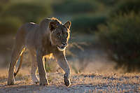 Subadult kalahari male lion walking