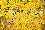 A person walking on a path is glimpsed through the beautiful yellow leaves lining a canal in Utrecht, the Netherlands.