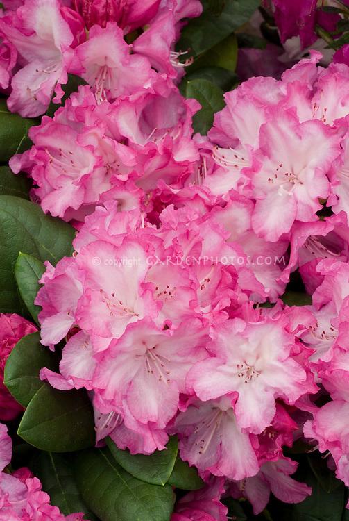Rhododendron Blurettia picotee pink flowers, Yakushimanum hybrid evergreen