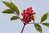 Roter Holunder, Trauben-Holunder, Traubenholunder, Bergholunder, Berg-Holunder, Reife Früchte, Sambucus racemosa, Red Berried Elder, Red Elderberry, Sureau à grappes, Sureau rouge