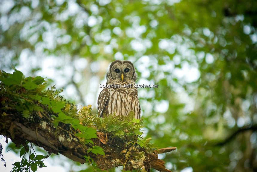 Barred owl perched on a Live Oak tree covered with resurrection ferns in Northern Florida