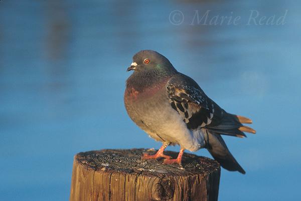 Rock Pigeon (=Rock Dove) (Columba livia), adult, Bolsa Chica Ecological Reserve, California, USA<br /> Slide # B66-137