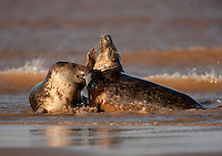 Grey Seals (Halichoerus grypus) fighting in the surf, Donna Nook, Lincolnshire