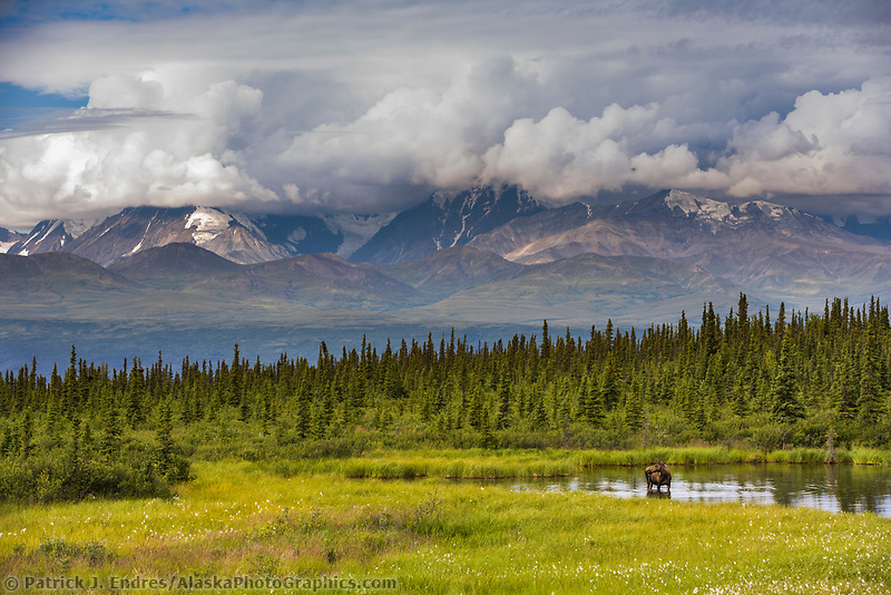 Cow moose stands in a tundra pond in the Alaska Range, Interior, Alaska.
